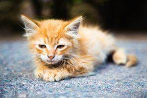Penyakit Feline Panleukopenia Virus (FPV) Pada Kucin