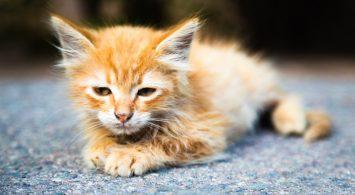Mengenal Penyakit Feline Panleukopenia Virus (FPV) Pada Kucing
