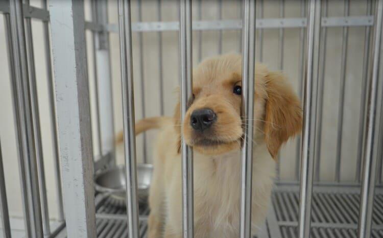 Menganl Penyakit Canine Parvo Virus (CPV) yang Sangat Menular dan Mematikan Bagi Anak Anjing (Puppy)